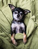 a cute chihuahua napping in a blanket