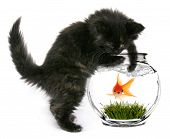 image of fishbowl  - Black Cat Reaching Into Fishbowl With a Shocked Scared Goldfish Inside - JPG