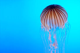 pic of under sea  - Jellyfish in electric blue background under water - JPG