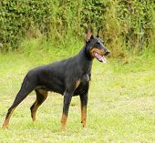 foto of doberman pinscher  - A young beautiful black and tan Doberman Pinscher standing on the lawn while sticking its tongue out and looking happy and playful - JPG