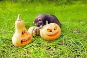 stock photo of ferrets  - Ferret and halloween pumpkins on the green grass - JPG