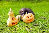 image of ferrets  - Ferret and halloween pumpkins on the green grass - JPG