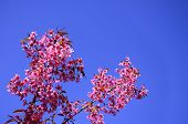 picture of hermaphrodite  - Wild Himalayan Cherry blossom with clear blue sky as a background pink flower sakura - JPG