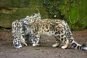 foto of panthera uncia  - a portrait of two snow leopard together - JPG