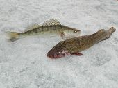 Burbot and zander catch on the river Ob