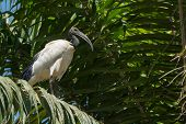 Sacred Ibis Standing In A Palm Tree