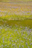 image of klamath  - Large pine forest meadow of grass and purple Camas or Camassia scilloides wildflowers - JPG
