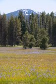 picture of klamath  - Large pine forest meadow of grass and purple Camas or Camassia scilloides wildflowers - JPG