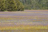 stock photo of klamath  - Large pine forest meadow of grass and purple Camas or Camassia scilloides wildflowers - JPG