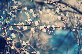 image of greenery  - Apricot tree flower with buds blooming at sptingtime - JPG