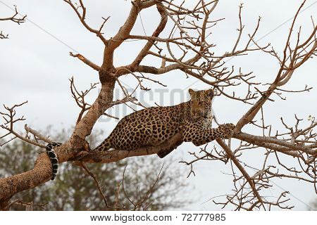 This elusive animal is one member of the famed Big 5, classified by hunters as one of the top 5, most difficult to kill, An animal with a great sense of balance, the Leopard can move comfortably on a tree.  This elusive animal is one member of the famed Big 5, classified by hunters as one of the top 5, most difficult to kill.