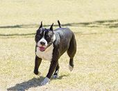 pic of american staffordshire terrier  - A small young beautiful black and white American Staffordshire Terrier walking on the grass looking playful and cheerful - JPG