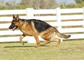 stock photo of shepherd dog  - A young beautiful black and tan German Shepherd Dog walking on the grass while looking happy and playful - JPG