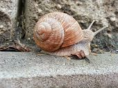 image of garden snail  - Detail photo of a land snail  - JPG