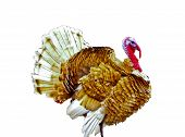image of turkey-cock  - Brown turkey cock on a white background - JPG