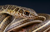 stock photo of venomous animals  - The sand snake is a fast moving - JPG