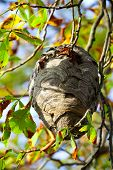 picture of dandruff  - wasp nest hangs in a tree with autumn leaves - JPG