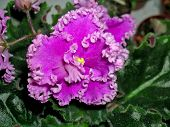 picture of six-petaled  - Saintpaulias, commonly known as�African violets, are a genus of 6-20 species of�herbaceous�perennial�flowering plants�in the family�Gesneriaceae, native to�Tanzania�and adjacent southeastern�Kenya�in eastern tropical Africa. [[** Note: Shallow depth of f - JPG