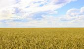 pic of paysage  - Landscape with field of ripe wheat and sky with clouds - JPG