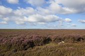 stock photo of windswept  - a windswept flowering heather moorland under a blue cloudy sky in autumn - JPG