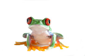 image of red eye tree frog  - one of the most beautiful creatures on planet earth - JPG
