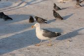 stock photo of flock seagulls  - large flock of pigeons and seagull in winter - JPG