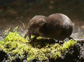 picture of shrew  - Seen from the side of the Pygmy Shrew devouring insect - JPG