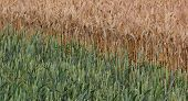 picture of century plant  - Wheat field with young and ripe plants side by side - JPG