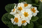 image of primrose  - particular of  some white primroses in a small vase - JPG