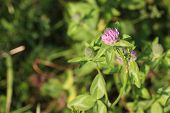 image of red clover  - Red clover  - JPG