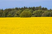 image of rape-seed  - rape seed field with tree and sky - JPG