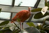 foto of scarlet ibis  - scarlet ibis bird eudocimus ruber - JPG