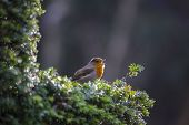 image of red robin  - Robin Red Breast spotted in National Botanic Gardens Dublin Ireland - JPG