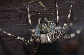 pic of upside  - Front macro view to cross spider standing upside down on wooden branch - JPG