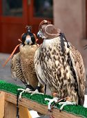 stock photo of falcon  - Hunting falcons Abu Dhabi United Arab Emirates - JPG
