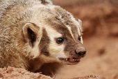 stock photo of badger  - Portrait of American badger  - JPG