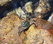 pic of crab  - The European green crab preys on mussels - JPG