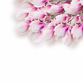 foto of magnolia  - Blossoming pink magnolia  tree branch with flowers on white background - JPG