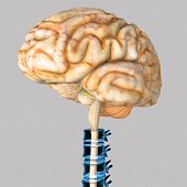 stock photo of mater  - The human brain has the same general structure as the brains of other mammals - JPG