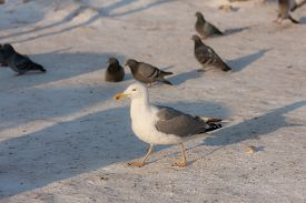 pic of flock seagulls  - large flock of pigeons and seagull in winter - JPG