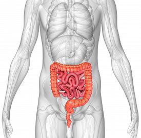 foto of rectum  - The human gastrointestinal tract  - JPG