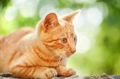 foto of domestic cat  - Small orange domestic cat outdoors in front of green background - JPG