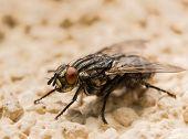 stock photo of blowfly  - Close up of house fly on orange backgrpund - JPG
