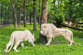 image of leo  - Pair of White South African lions  - JPG