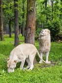 foto of leo  - Pair of White South African lions  - JPG