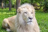 picture of african lion  - Portrait of a White South African lion  - JPG