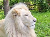image of leo  - Portrait of a White South African lion  - JPG