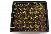 pic of  plants  - A tray of baby squash plants ready to be planted - JPG