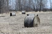 pic of hay bale  - Crows on top of round hay bales in a field - JPG