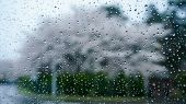 image of raindrops  - Raindrops on cleared glass windows rainy day with blurred background of cherry blossom - JPG